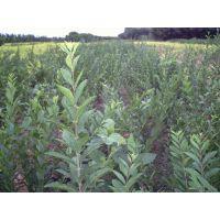 潍坊胶东卫矛种植基地大量供应胶东卫矛苗子
