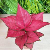 如意皇后植物盆栽室内花植物大红色万年红粉如意水培吉利红植物