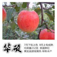 矮化华硕苹果苗大量供应 矮化苹果苗