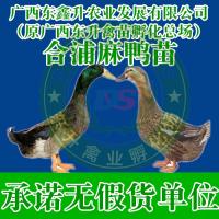 南宁市江南-山鸡苗野鸡苗养殖技术-山东鸭苗-新疆鸡苗批发
