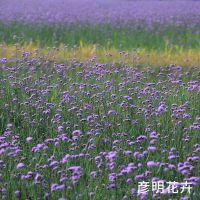 柳叶马鞭草及野花组合 花海花种 草花种子  青州花卉种植