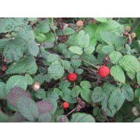 山东青州丽都蛇莓哪里有卖蛇莓品种欢迎来电咨询