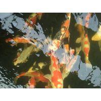【创新水产】锦鲤鱼 黄金锦鲤鱼 三和锦鲤鱼鱼苗批发 观赏鱼苗促销价格便宜