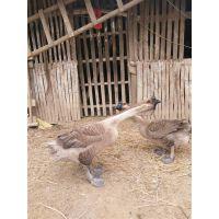 云南红河小鹅苗出售 雁鹅苗今天什么价格 四季鹅苗多少钱一只