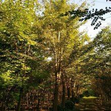 银杏树价格 供应银杏树 25----30CM银杏树价格 3000元起成活好价格低