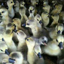 全国托运 武汉狮头鹅鹅苗价格 饶平狮头鹅苗市场地址在哪里 狮头鹅苗价