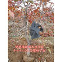 出售5公分柿子树 6公分柿子树 8公分柿子树原产地批发价格