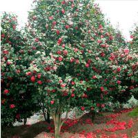 直销观花植物小苗 耐冬茶花2--5公分茶花 园林绿化 规格齐全