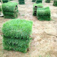 马尼拉草坪 江西九江铁路护坡绿化用的百慕大草坪出售价格 基地销售