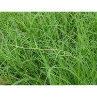 混播草种原种狗牙根与包衣狗牙草的区别甘孜提供