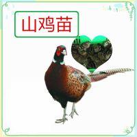广东七彩山鸡苗批发,哪里有山鸡苗出售