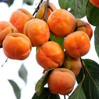 嫁接柿子树苗 黑柿子日本甜柿 南方北方种植庭院地栽果树苗当年结