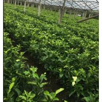 三红蜜柚苗种植基地 三红柚子苗在哪里卖