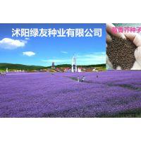 紫色花海 花卉种子 南庭芥 蓝香芥 紫色油菜花 国产之樱花