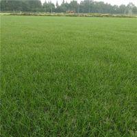 工程草坪种植基地,成都的草坪都有些什么品种?货源在哪里?