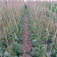 西红柿多用途绑枝机 葡萄园好操作绑扎机