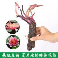 迷你睡莲水培养根块含盆花卉根茎水培碗莲包邮室内盆栽植物种子