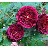 月季花哪里便宜 绿化工程栽植月季花都在哪买的