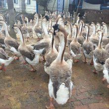 全国托运 北京狮头鹅苗供应 狮头鹅鹅苗批发市场位置 那出售大种狮头鹅苗