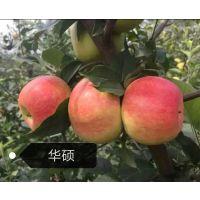 泰安开发区瑞康苗木园艺场供应 华硕苹果树苗