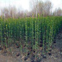 供应优质2米北海道黄杨绿篱苗价格