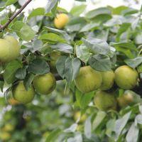 正一园艺场批发早酥红梨树苗 批发早酥红梨树苗哪里有卖 1.5米梨树苗 1.5米早酥红梨树苗价格
