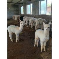 仙农养殖场出售租赁羊驼 矮马梅花鹿