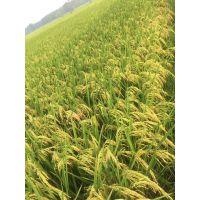 水稻专用水溶肥,控旺抗倒伏培育优质稻