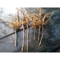 批发优质油用凤丹牡丹种苗 牡丹苗 亳州基地直供 白花牡丹苗