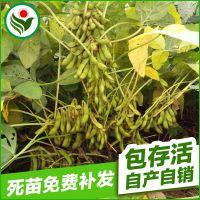 中华千斤攀吨大豆茎秆粗壮高抗倒伏喜水耐肥分枝能力强