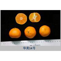 四川华美7号柑桔苗哪里有卖,广西华美7号柑橘枝条哪儿有