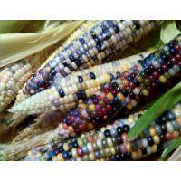 出售各种水果玉米种子,紫糯米种子,黑糯米种子