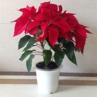 批发办公室内外高档盆栽花卉 一品红盆栽又名万年红 室内 带花