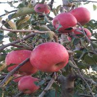出售晚熟苹果苗瑞阳 瑞雪苹果树苗 山东果树苗基地 个大 脆甜产量高