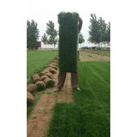 运城草坪销售|冷季型草坪种类