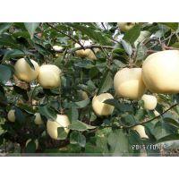 苹果新品种哪里有 矮化苹果苗价格 种植技术
