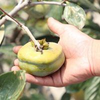 基地批发庭院水果柿子苗 规格齐全 高品质柿子苗 现挖现卖