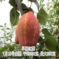 新梨7号梨树苗品种 玉露香梨价格全红梨口感怎么样梨树种植基地等优质品种