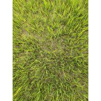 成都混播草坪出售 草皮批发基地 手起草皮
