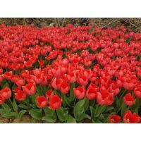 郁金香种球开始预定、郁金香种球预订从速、郁金香颜色丰富、郁金香价格便宜