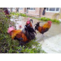 湖南郴州土鸡苗出售 灵山麻土鸡苗注意什么 脱温土鸡苗
