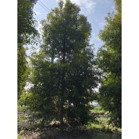 4-10公分小叶桢楠,常绿工程苗,成都金丝楠木供应商