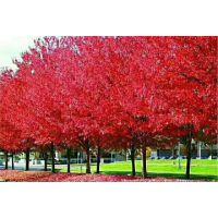 美国红枫价格红枫-美国红枫价格表- 日本红枫