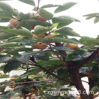 山东柿子苗品种 阳丰甜柿子苗 好吃的柿子苗品种