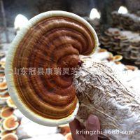 供应红灵芝菌种 赤灵芝菌种 灵芝原种 菌苗 抗杂菌 产量高 易管理