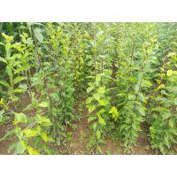 陕西西梅苗木供应 法兰西西梅基地销售优质西梅苗木 西梅苗价格提供