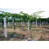 怎样培育百香果苗|兴红盛种植基地|哪里有黄金百香果苗