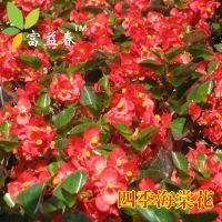 四季海棠花种子 家庭阳台盆栽易种花籽 四季播种秋播海棠花草种子