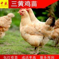 鸡孵化场2019年广西三黄鸡苗多少钱一只|快大三黄鸡苗价格统货全国包邮