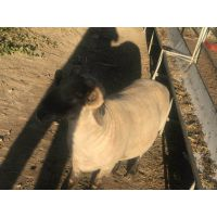 育肥羊预混料专用饲料
